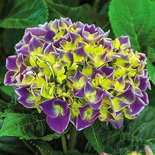 """Violet Crown Hydrangea Bush - Mophead - Lime Green and Violet - 3.5"""" Pot"""
