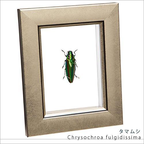 虫の標本 タマムシ ライトフレーム メタリック調 B06Y6D5577