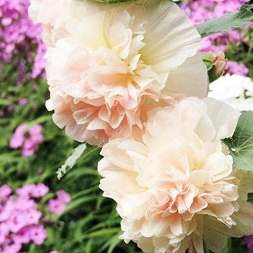 David's Garden Seeds Flower Hollyhock Majorette Double Champagne SL5261 (Pink) 50 Non-GMO, Heirloom Seeds