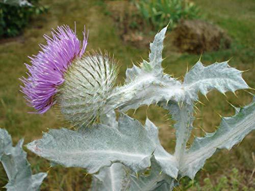 PLAT FIRM Germinazione dei semi: Cuor di bianco e rosa: Scottish Thistle ~ Bleeding Heart ~ Violets Moonflower ~ Bellflower Partenio PC STURDY