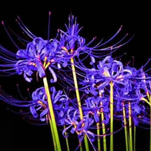 super 50Pcs Bulbs Lycoris Radiata Spider Lily Bulb Seeds Garden Flower Plants Seed Blue