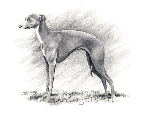 Italian Greyhound Pencil Drawing Art Print by Artist DJ Rogers