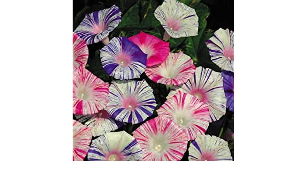 Amazon com : Park Seed Carnival Morning Glory Seeds : Garden