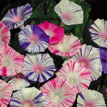 Amazon com : Park Seed Carnival Morning Glory Seeds : Garden & Outdoor