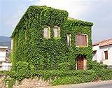 Parthenocissus tricuspidata Seeds 10pcs Boston Ivy Climbing Plant Home Decor Vine