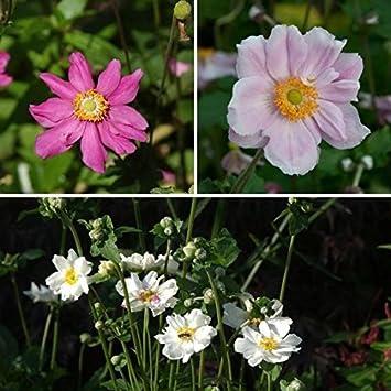 Herbst Anemone Im 3er Set Weinrot Weiss Und Rosa Bluhend 3