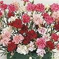 Outsidepride Dianthus Sonata Seeds