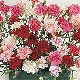 Outsidepride Dianthus Sonata - 5000 Seeds