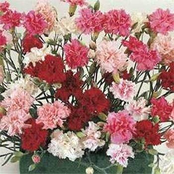 Outsidepride Dianthus Sonata - 10000 Seeds
