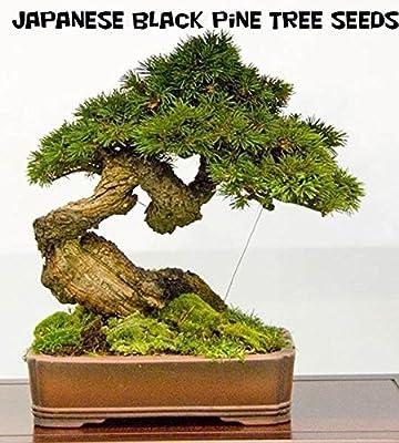 10 Japanese Black Pine Tree Seeds