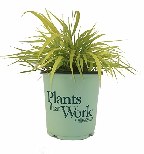 Plants that Work Gold Japanese Forest Grass - Grass - H.M. All Gold - 19cm by Premier Plant Solutions