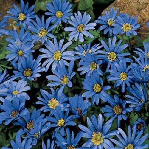 Details About Anemone Blanda Blue Star (10 Bulbs)