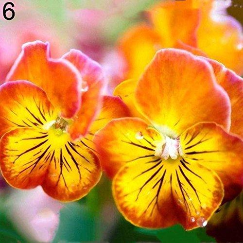 - Rose Iris Tectorum Sunflower Cobaea Scandens Seed, 100Pcs Multicolor Beautiful Pansy Seeds Bonsai Plant Flower Home Garden Decor - Orange