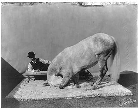 Photo: Prince Albert,Cuthbertson's famous educated horse,Kneeling before a man,c1909 (Educated Horses Vinyl)