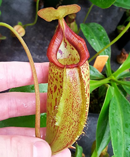 small nepenthes pitcher plant - 7