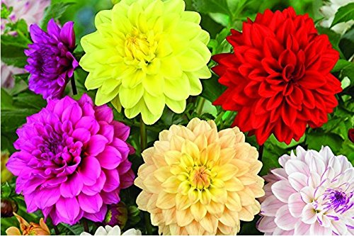 Nianyan Dahlia Bulbs for Planting, Large, Dinnerplate, Dutch, Mix Decorative, Collection, Bulk, Dinner plate, tuber, flower, white (set of 5)