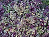 "Burgundy Glow Ajuga 48 Plants - Carpet Bugle - Very Hardy -1 3/4"" Pots"