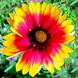 Gaillardia grandiflora Flower Seeds from Ukraine