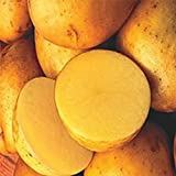 buy 2 lb. SEED POTATOES - Yellow Finn - Organic - ORDER NOW for FALL PLANTING now, new 2019-2018 bestseller, review and Photo, best price $16.99
