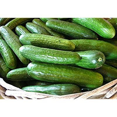 30+ ORGANICALLY Grown Persian Beit Alpha (Lebanese) Cucumber Seeds Heirloom Non-GMO Crispy Fragrant from USA : Garden & Outdoor