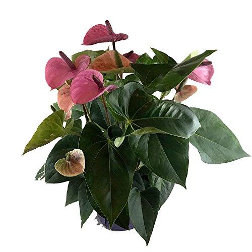 Crisp Plants Live Anthurium Plant, Purple, 20
