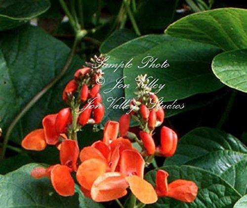 Heirloom Trellis (Scarlet Runner Pole Bean 10 Seeds Stunning Orange Red Blooms Attract Hummingbrds - Butterflies Heirloom Trellis or for Fences Small Space)