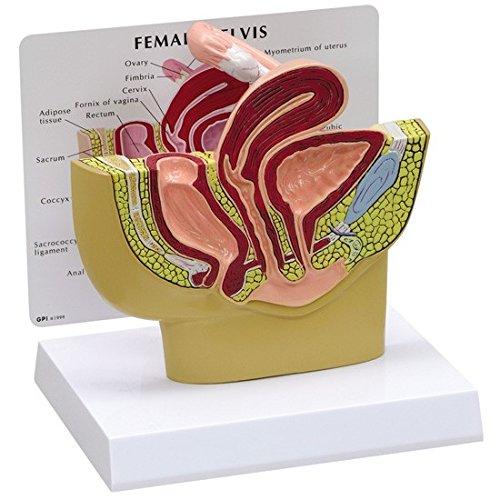 Female Pelvis Anatomical Model Professional by GPI Anatomicals