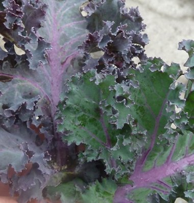 David's Garden Seeds Kale Olympic Red D3267 (Green and Purple) 100 Organic Seeds