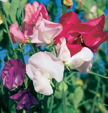 David's Garden Seeds Flower Sweet Pea Mammoth Choice Mix D1408 (Multi Color) 50 Open Pollinated Seeds