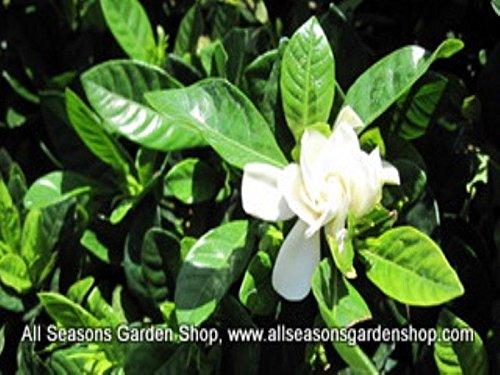 Gardenia jasminoides 'Frost Proof' gardenia, FIFTY plants