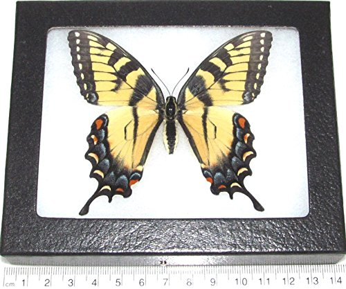 (Bicbugs, LLC Real Framed Butterfly Black Blue Yellow Papilio Glaucus Tiger Swallowtail Female)