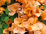 Two Live 4 Inch Bougainvillea 'California Gold ' Golden-Yellow Flowers. 4 Plants, 2 per Pot.