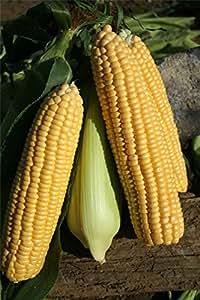 justseed–verduras–maíz–Ovation F1–250Semillas–grande