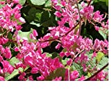 12 Seeds Organic Coral Vine (Antigonon leptopus) Queens Wreath, BEE/Butterfly