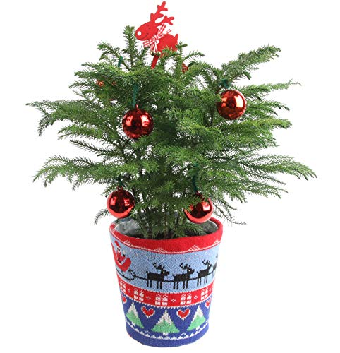 Costa Farms Live Ugly Christmas Sweater Christmas Tree, 2-Feet Tall, Fresh From...