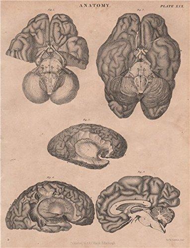 Amazon.com: Human Anatomy. Brain. BRITANNICA - 1860 - old print ...