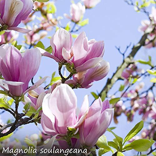 Magnolia Trees 3 Litre Pot Set Of 3 Varieties Amazoncouk