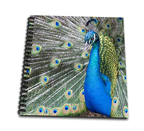 3dRose Danita Delimont - Peacocks - Male Peacock with fanned out tail, closeup. - Memory Book 12 x 12 inch (db_315005_2)