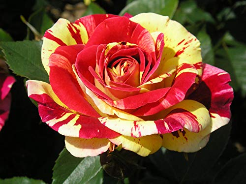 Brushstrokes -5.5lt Potted Floribunda Garden Rose Bush - Stunning Red and Yellow Striped Flowers Fragrant - Unusual Variety