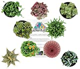 Altman Plants Assorted Live Succulents Fairy Garden Collection Colorful large plants for DIY terrariums and planters, 3.5'', 9 Pack