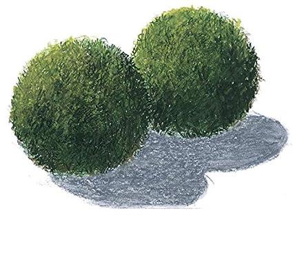 3 Bolas de musgo Acuario 4-6cm Cladophora aegagrophila: Amazon.es ...