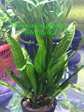 Live Aquatic Fresh Water Potted Plant Microsorium pteropus sp Hardy Leaf P298