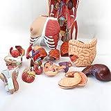 Human Body Skeleton Organs Model, 4D Anatomical