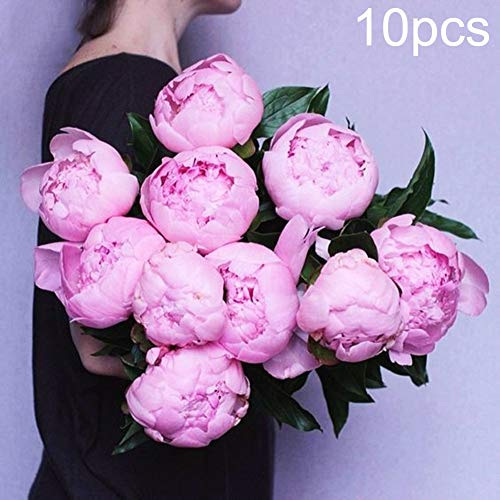 (LOadSEcr's Garden 10Pcs Pink Peony Flower Seeds Non-GMO Ornamental Plants Yard Office Decoration, Open Pollinated Seeds - Peony Seeds)