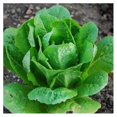 Lettuce Romaine Parris Island Cos ► Certified Organic Heirloom Seeds (200+ Seeds) ◄ by PowerGrow Systems : Vegetable Plants : Garden & Outdoor
