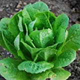 Lettuce Romaine Parris Island Cos ► Certified Organic Heirloom Seeds (200+ Seeds) ◄ by PowerGrow Systems