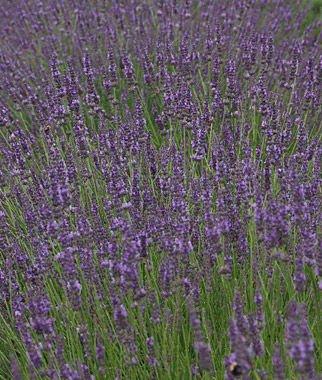 Lavender Phenomenal  Lavendula   1 Gal