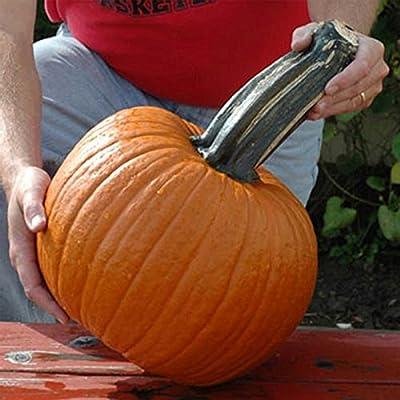 Pumpkin Garden Seeds - Wolf Variety (Large Handle) - Non-GMO - Deep Orange Large Pumpkins - Vegetable Gardening Seed