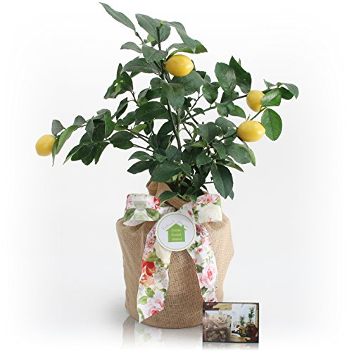 Housewarming Meyer Lemon Gift Tree by The Magnolia Company - Get Fruit 1st Year, Dwarf Fruit Tree with Juicy Sweet Lemons, NO Ship to TX, LA, AZ and CA by The Magnolia Company (Image #3)