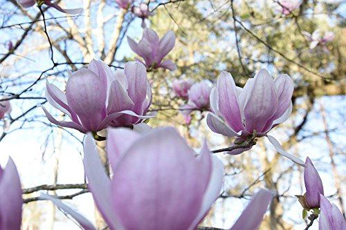 ALEXANDRINA Magnolia Tree - Size: 3 Gallon, Live Plant, Includes Special Blend Fertilizer & Planting Guide by PERFECT PLANTS (Image #4)